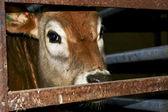 Brown calf — Stock Photo