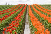 Red and Orange Tulip Rows — Stock Photo