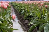 One pink tulip — Stock Photo