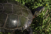 Painted Turtle — Stock Photo