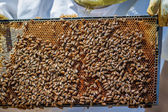 A Frame of Bees — Stock Photo
