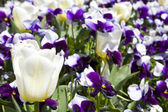 Pansies and Tulips — Foto Stock