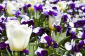 Pansies and Tulips — Stock Photo