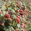 Tayberry — Stock Photo #57140661