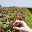 Tayberry picking — Stock Photo #57141145