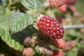 Tayberry — Stock Photo
