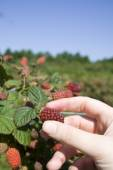 Tayberry picking — Stock Photo