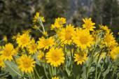 Oregon Sunshine — Stock Photo