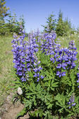 Lupine — Stock Photo