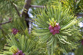 Conifer cones — Stock Photo