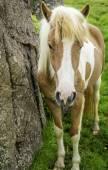 Cavalo islandês — Fotografia Stock