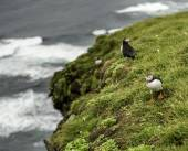 Atlantic puffin — Stockfoto