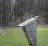 Swallows on a birdhouse — Stock Photo