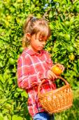 Seven year old girl picking clementines — Stock Photo