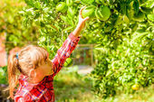 Seven year old girl  picking clementines from her garden — Stock Photo