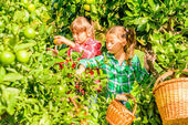 Seven year old girls  picking clementines from the garden — Stock Photo