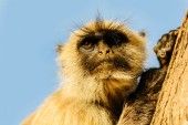 Monkey is sitting on the tree in Jaipur, India — Stock Photo