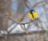Blue tit on branch (parus caeruleus) — Stock Photo