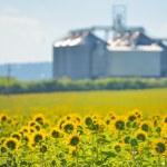 Sunflower Field and Grain Silos — Stock Photo #62338667