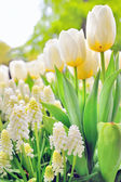Muscari botryoides and tulips — Stok fotoğraf