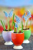Muscari botryoides flowers  — Stock Photo