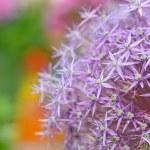 Purple flowers of Allium — Stock Photo #73551691