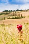 Red flower and winding road in crete senesi Tuscany, Italy — Stock Photo
