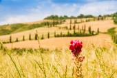 Red flower and winding road in crete senesi Tuscany, Italy — Stock Photo