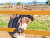 Donkeys in Tuscany, Italy — 图库照片
