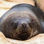 Seal sleeping on rocks — Stock Photo #57546717