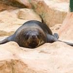 Seal sleeping on rocks — Stock Photo #57546739