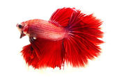 Red fighting fish isolated on white background — Foto de Stock