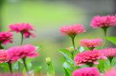 Zinnia flower in garden — Foto de Stock