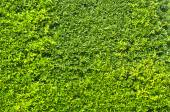 Green plants walls for background — Stock Photo