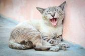 Yawning Cat — Stock Photo