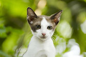 Young thai cat — Stock Photo