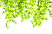 Beautiful Green leaves on white background — Stock Photo