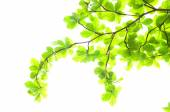 Beautiful Green leaves on white background — Foto de Stock