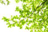 美丽的绿色叶子,在白色背景上 — 图库照片