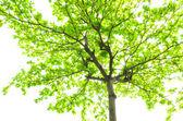 красивые зеленые листья на белом фоне — Стоковое фото