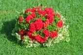 Красный цветок на фоне зеленой травы — Стоковое фото
