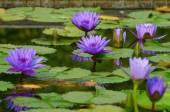 Mor lotus çiçeği — Stok fotoğraf