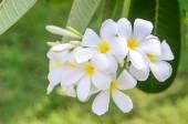 Luntom, Plumeria Flower — Stock Photo