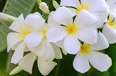 Luntom, Plumeria Flower — Stockfoto