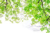 Krásné zelené listy na bílém pozadí — Stock fotografie