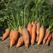 Bunch of fresh carrots with green leaves on the ground — Stock Photo #56896897