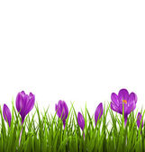 Green grass lawn with violet crocuses isolated on white. Floral  — Vector de stock