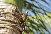 Woodpecker in a palm tree. — Stock fotografie