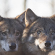 Portrait of two European wolves. — Stockfoto #57195385