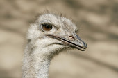 Ostrich looks intently. — Stock Photo